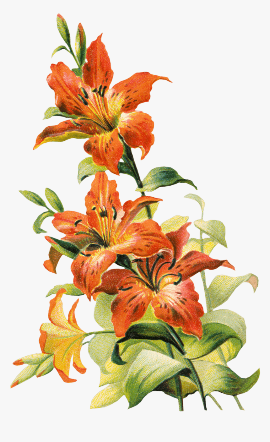 Transparent Lilies Clipart Tiger Lily Flower Png Png Download